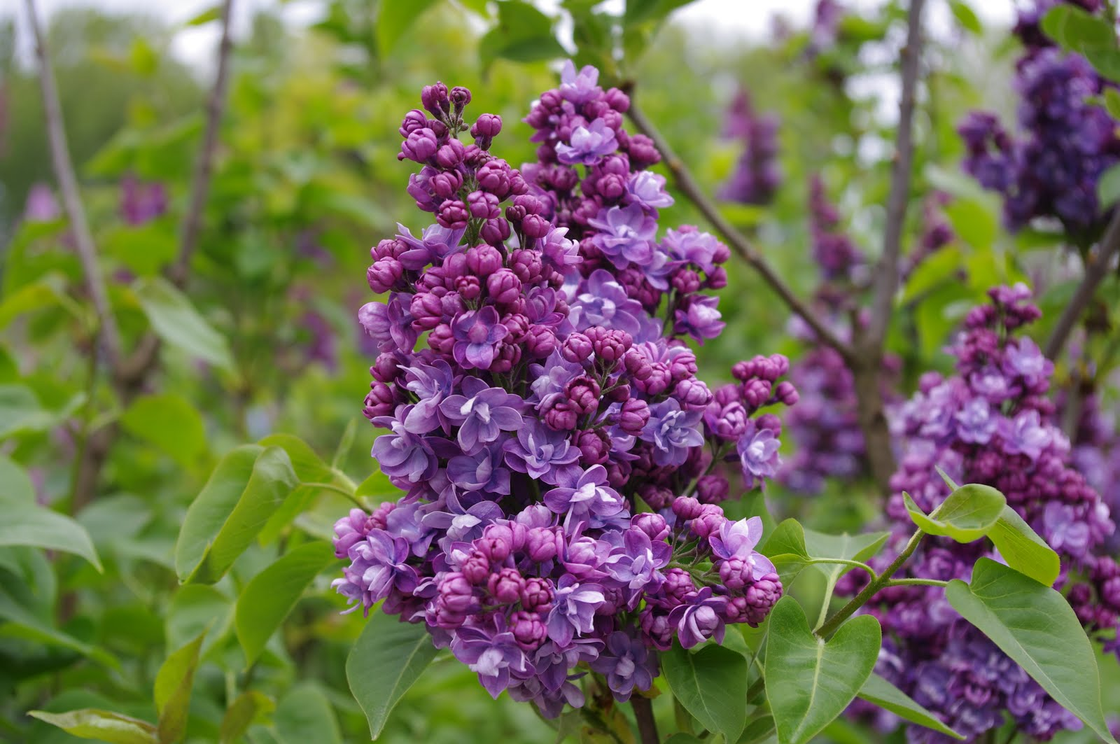 How Sweet the Smell …. The Lilac Lady