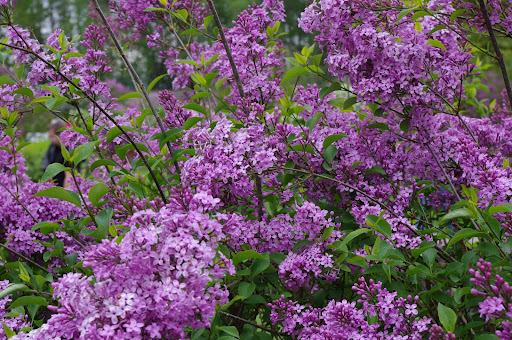 How Sweet the Smell .... The Lilac Lady