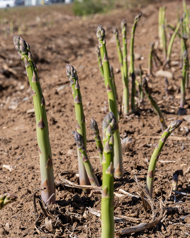 asparagus growing in a field
