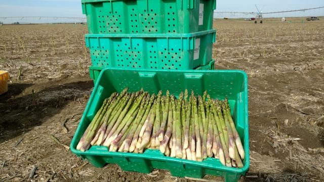 asparagus being harvested